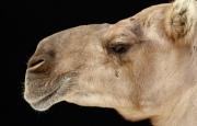 Как слепить из пластилина верблюда